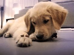 golden retriever puppy gif animated gif