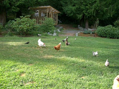 Backyard Chicken Farmer Farming Hassles Food Renegade