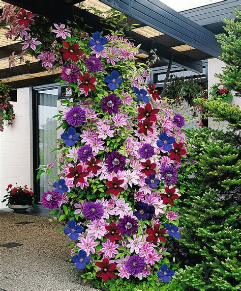 3 easy ways to plant clematis with pictures wikihow colorful clematis climbing plants diy cozy home