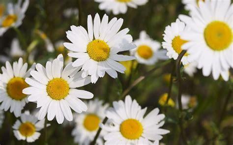 margherita fiori fiori margherita fiori di piante caratteristiche della