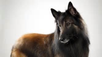 belgian shepherd working dogs pin belgian tervuren on pinterest