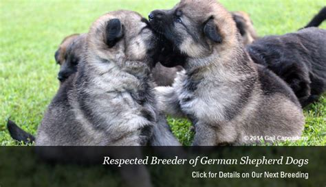 german shepherd puppies ma german shepherd puppies pups german shepherd breeder ma nh german breeds picture