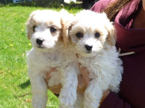cavachon puppies for sale in cavachon puppies for sale aberystwyth ceredigion pets4homes