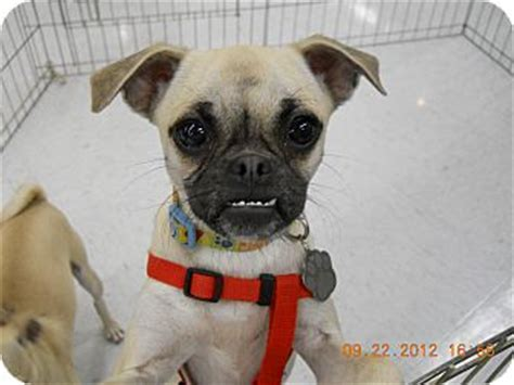 nc pug rescue venus adopted nc pug mix