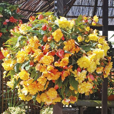 Begonia Basket 1 begonia illumination apricot shades 20 large plants