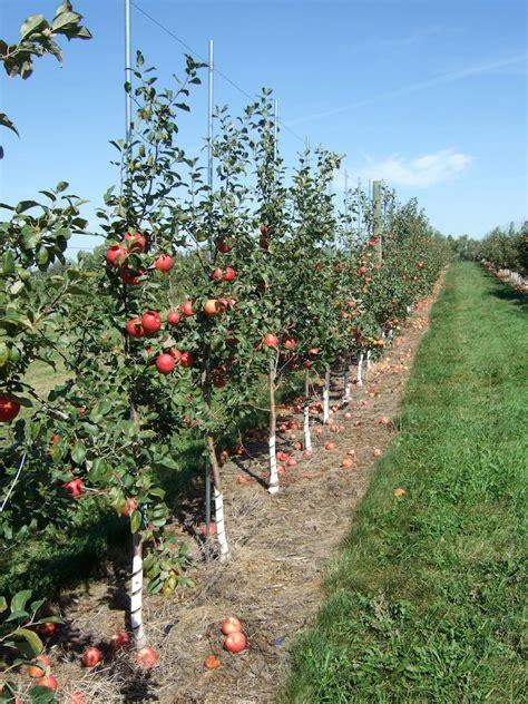 growing apples in home garden