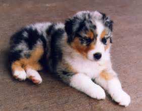 Australian shepherd the dogs breeds