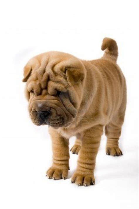 pictures of shar pei puppies puppy pictures breeds