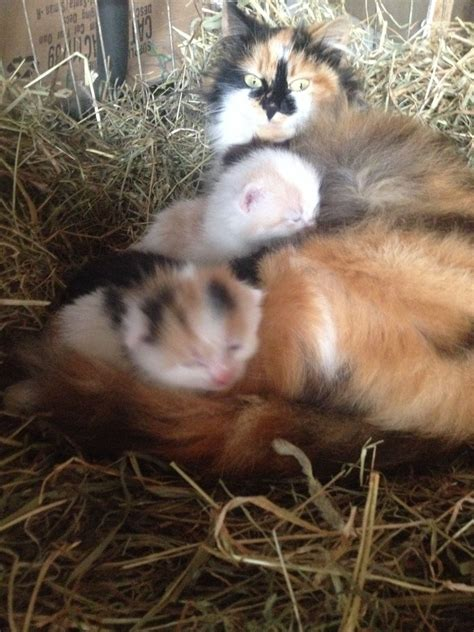 kittens for sale gorgeous baby kittens for sale leek staffordshire