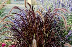 how to grow purple fountain grass in the north
