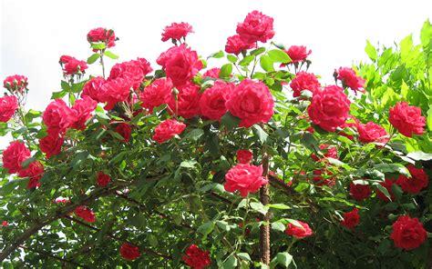 Red Roses Vase Roses Flower Wallpaper