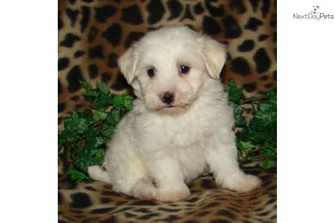 price of a havanese puppy havanese puppy for sale near south bend michiana indiana 77bba403 3851