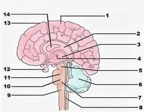 Brain Anatomy Diagram Quiz