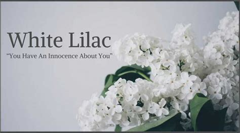 lilac flower meaning 10 best funeral flowers ultimate guide lives on
