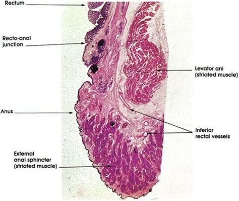 histological section 31 best images about histology gi layers junctions