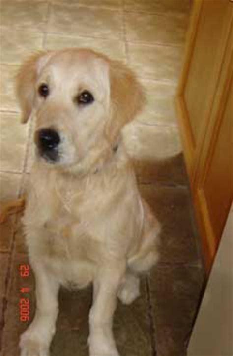 golden retriever hip dysplasia symptoms labrador health the story of pablo the golden retriever with hip dysplasia