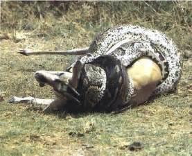 Do Jaguars Eat Pythons Ramu Snakes Wrangerals