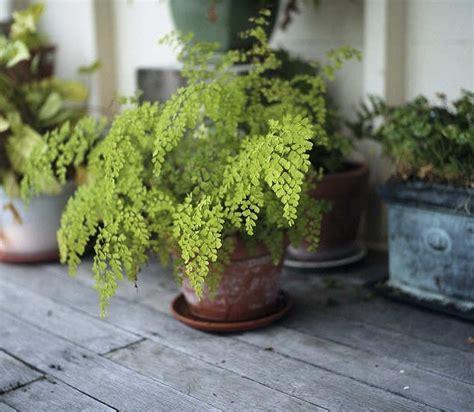 Tanaman Suplir Daun Kecil cara merawat tanaman hias suplir yang baik tanaman hias