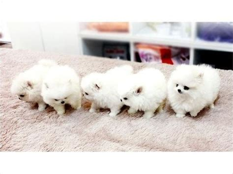pomeranian puppies sydney the world s catalog of ideas