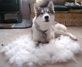 haired huskies mine pictured do shed less but not