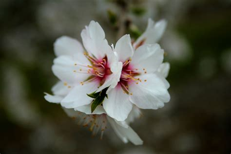 For You In Blossom 4 almond blossom catherine mijs photography