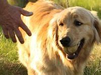 signs of cancer in golden retrievers golden retriever cancer awareness on
