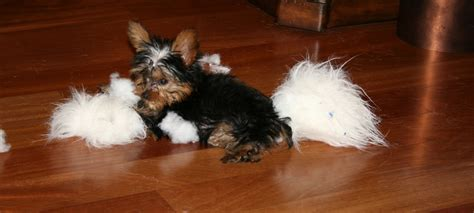 how does a teacup yorkie live teacup yorkie puppies for sale breeders terrier puppies