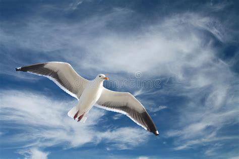 il volo gabbiano gabbiano durante il volo immagine stock immagine di