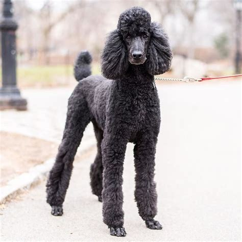 grooming standard poodles cuts tango standard poodle 5 y o central park new york ny quot he