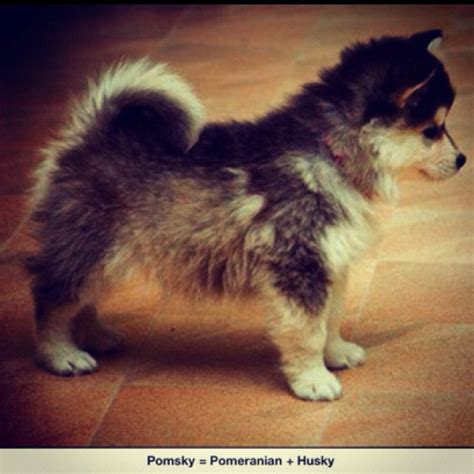 half husky and half pomeranian my current obsession this is a pomsky half pomeranian half husky i must