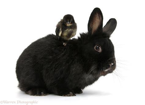 Black Black black rabbit and black bantam photo wp33866