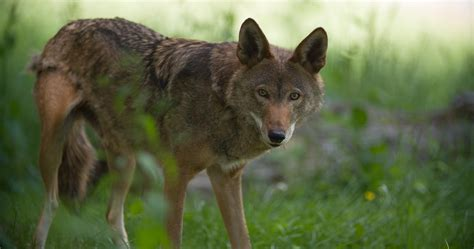 red wolf wallpapers images  pictures backgrounds
