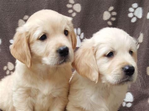 top golden retriever breeders top 10 golden retriever puppies amo