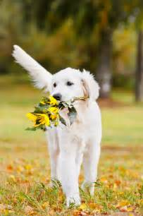 what colors do golden retrievers come in white golden retrievers a of a different color golden retrievers