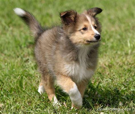 shetland sheepdog puppy shetland sheepdog puppy jpg