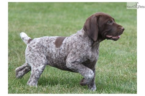 german shorthaired pointer puppies for sale near me rosa german shorthaired pointer puppy for sale near lancaster pennsylvania