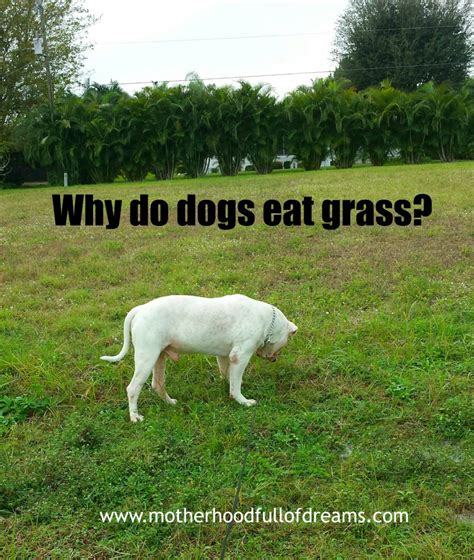 why do dogs why do dogs eat grass motherhood of dreams