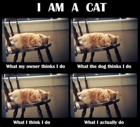 i am a cat jokes memes pictures