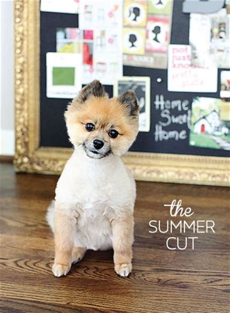 summer haircut pomeranian summer haircut pomeranian odie the pom 25 best ideas