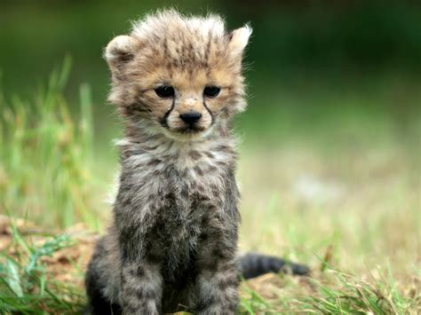 cheetah cub cheetah cub by sully