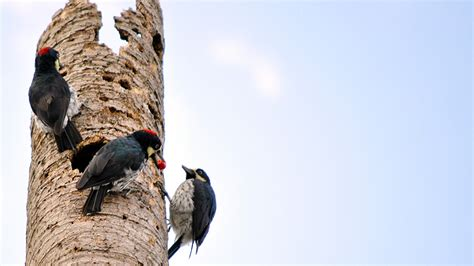 acorn woodpecker the fascinating life of the master