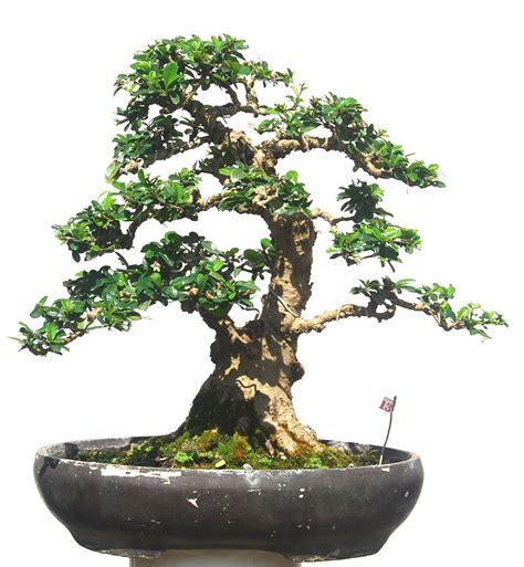jual bonsai hokiantea no 13 cantik artha bonsai vio
