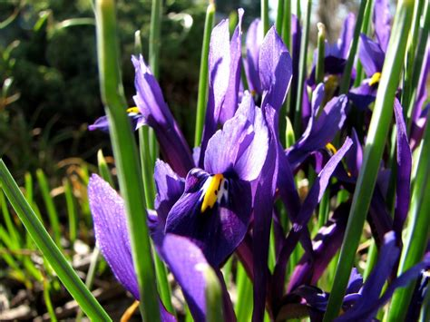 when to plant miniature irises garden guides
