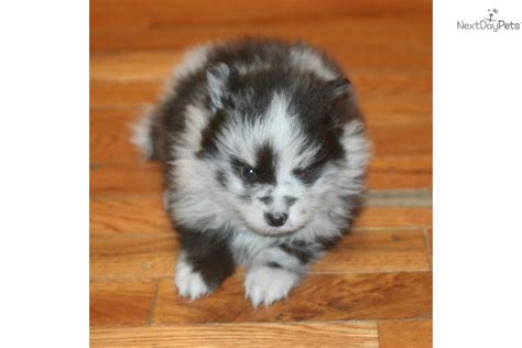 merle pomeranian puppies for sale blue merle pomeranian puppies for sale breeds picture