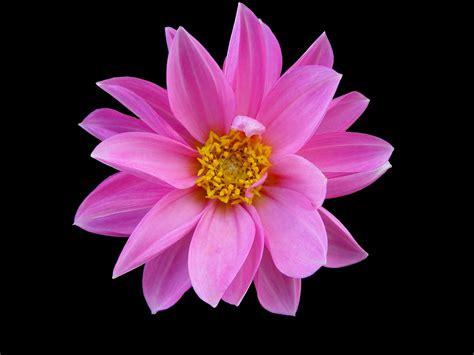 cute pink flower weneedfun