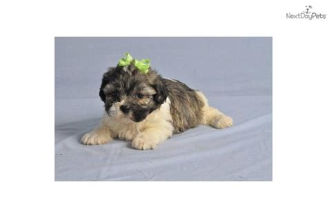 shih tzu puppies for sale in cedar rapids iowa teddy puppies for sale in iowa shichon teddy puppies breeds picture
