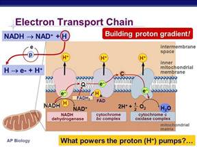 Proton Pumps Are Protein Complexes That Energy Atp The Point Is To Make Atp Ppt