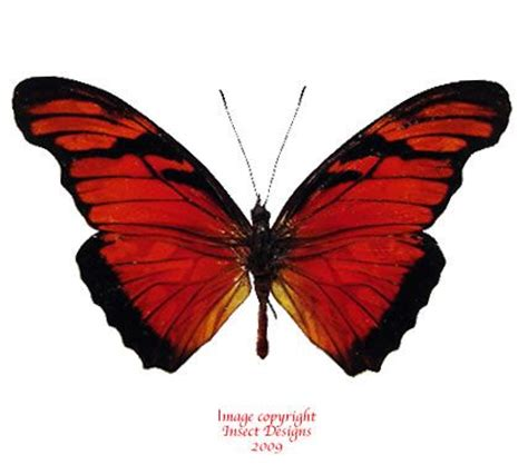 tattoo camo colombia dione juno colombia a a2 lepidoptera pinterest