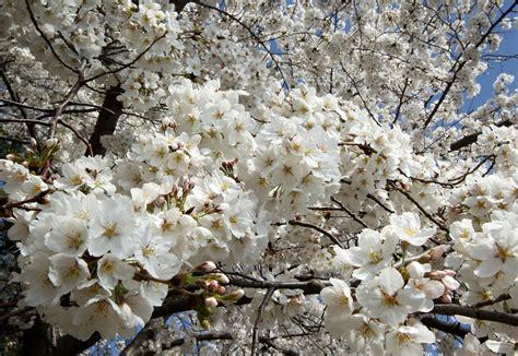 washington d c cherry trees cherry trees in bloom in washington dc zimbio
