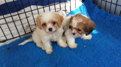 largest litter of puppies outstanding litter of puppies available aldershot hshire pets4homes